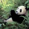 Panda croque du bambou anglais